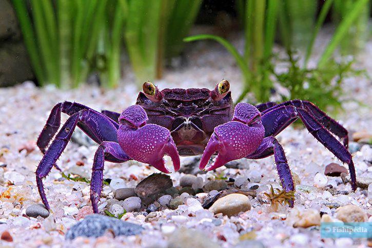 Geosesarma dennerle - crabe vampire