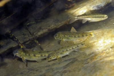 goujon Cyprinidae