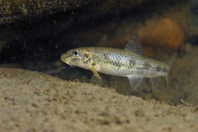 goujon occitan Cyprinidae