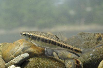vairon basque Leuciscidae