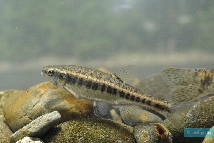 Phoxinus bigerri - vairon basque