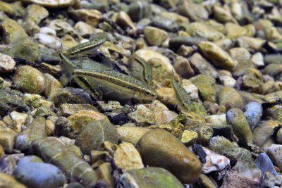 vairon du Languedoc Leuciscidae