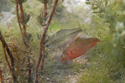 bouvière Cyprinidae
