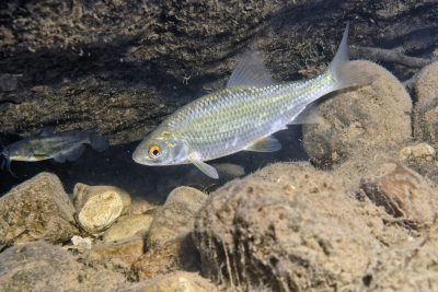 gardon Cyprinidae