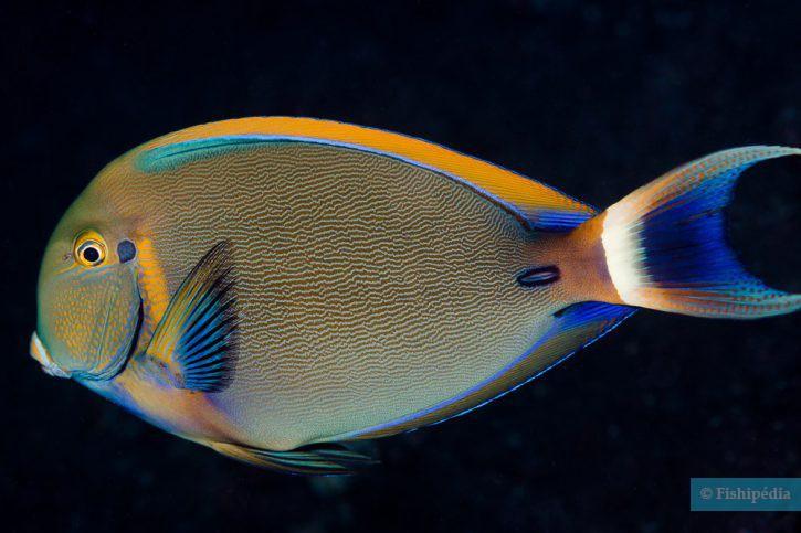 Acanthurus bariene - poisson-chirurgien à ocelle
