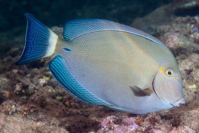 poisson-chirurgien à queue rayée Acanthuridae