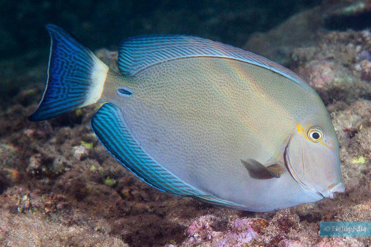 Acanthurus blochii - poisson-chirurgien à queue rayée