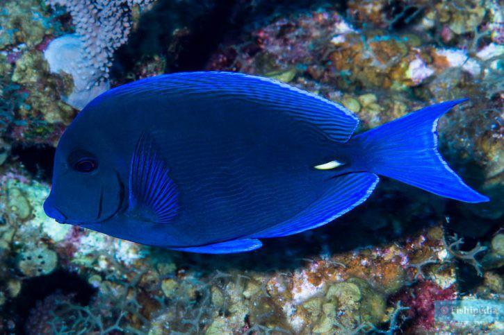 Acanthurus coeruleus - chirurgien bleu