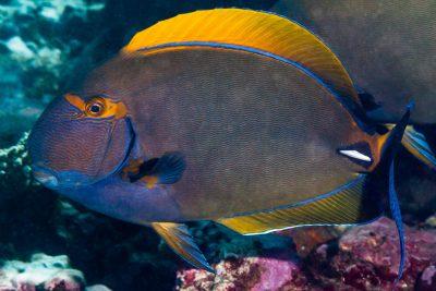 poisson-chirurgien couronné Acanthuridae