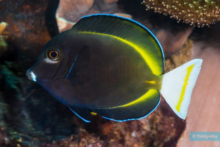 Acanthurus nigricans - poisson-chirurgien à joues blanches