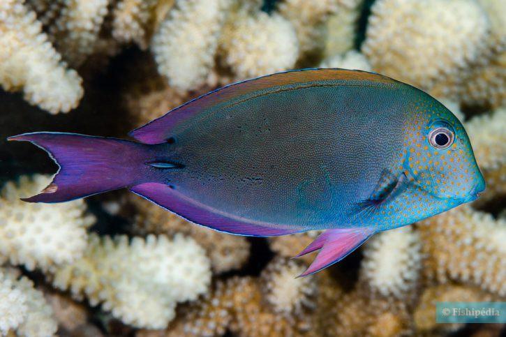 Acanthurus nigrofuscus - poisson-chirurgien brun