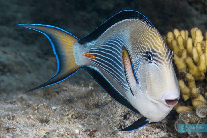 Acanthurus sohal - poisson-chirurgien zébré
