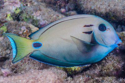 poisson-chirurgien-lieutenant Acanthuridae