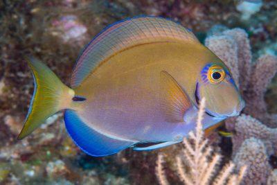 poisson-chirurgien océanique