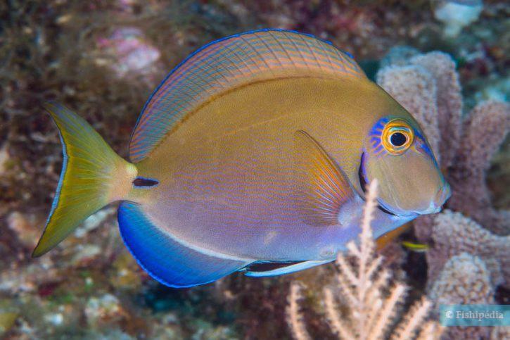 Acanthurus tractus - poisson-chirurgien océanique