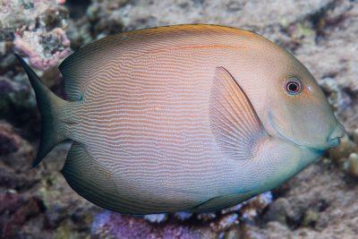 poisson-chirurgien strié Acanthuridae