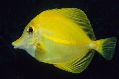 chirurgien jaune Acanthuridae