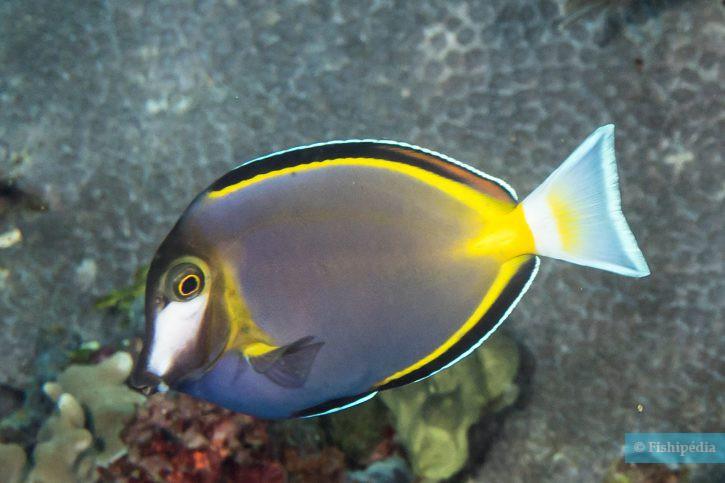 Acanthurus japonicus - poisson-chirurgien à joues blanches