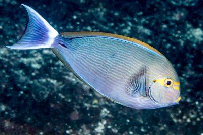 poisson-chirurgien pâle Acanthuridae