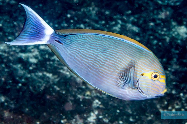 Acanthurus mata - poisson-chirurgien pâle