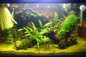 Aquarium killies