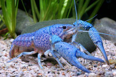 écrevisse bleue Cambaridae