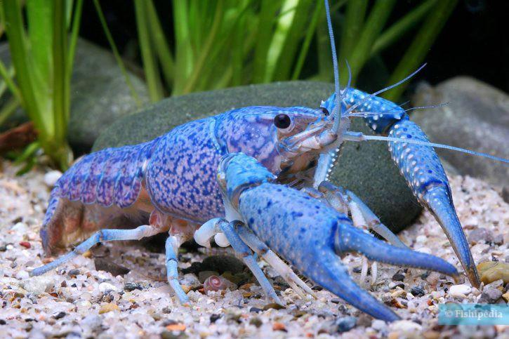 Procambarus alleni - écrevisse bleue