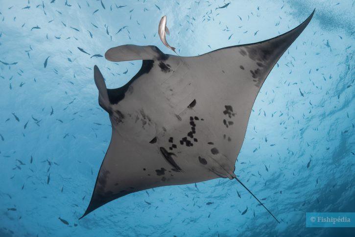 Mobula alfredi - raie manta de récif
