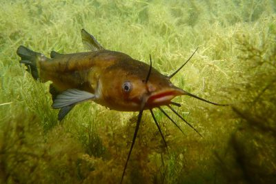 poisson-chat Ictaluridae