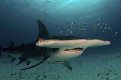 grand requin-marteau Carcharhinidae