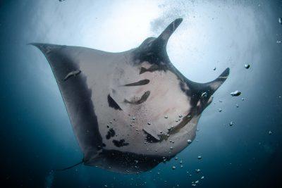 raie manta géante Mobulidae