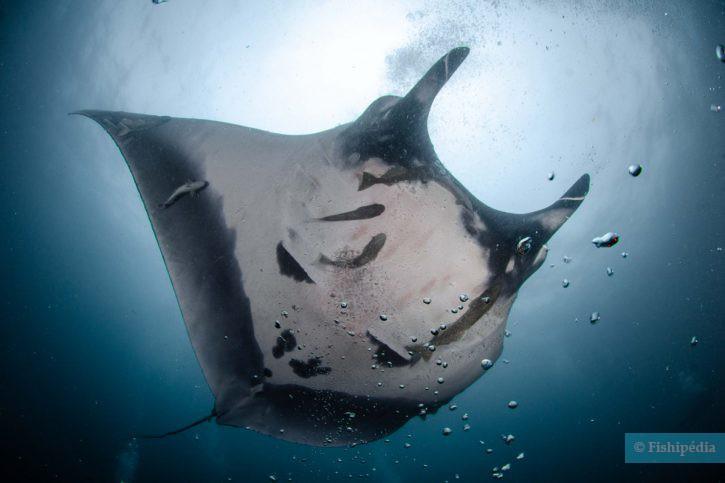 Mobula birostris - raie manta géante