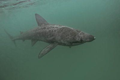 Requin pèlerin Cetorhinidae