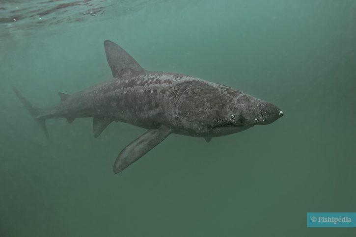 Cetorhinus maximus - Requin pèlerin