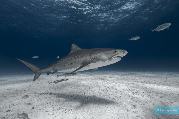 Galeocerdo cuvier - requin tigre