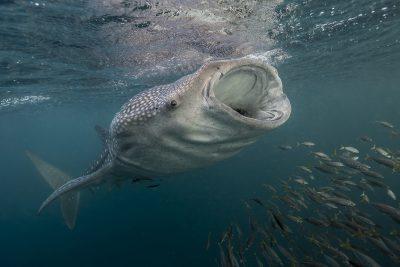 requin-baleine Rhincodontidae