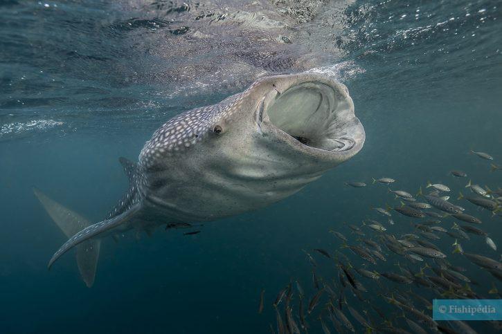 Rhincodon typus - requin-baleine