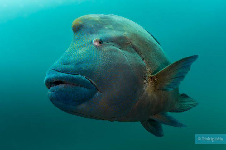 Cheilinus undulatus - poisson Napoléon