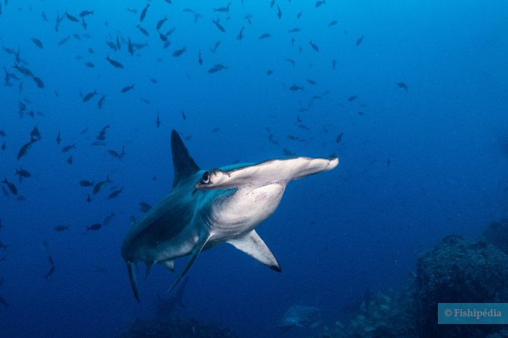 Sphyrna lewini - requin-marteau Halicorne
