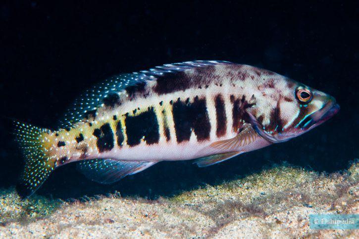 Serranus atricauda
