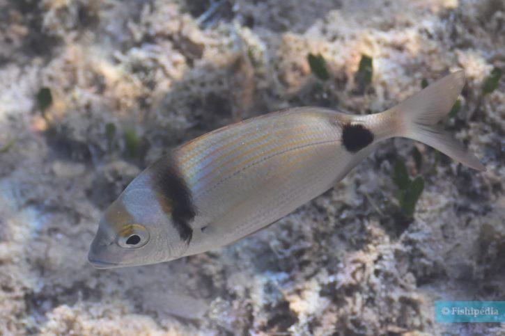 Diplodus vulgaris - sar à tête noire