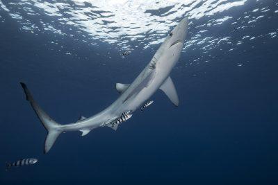 requin peau bleue Carcharhinidae