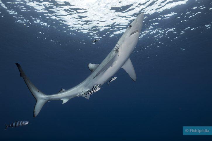 Prionace glauca - requin peau bleue