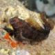 picture of Parablennius pilicornis