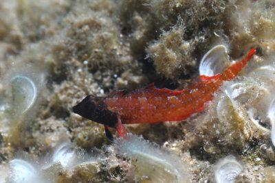 triptérygion rouge Tripterygiidae