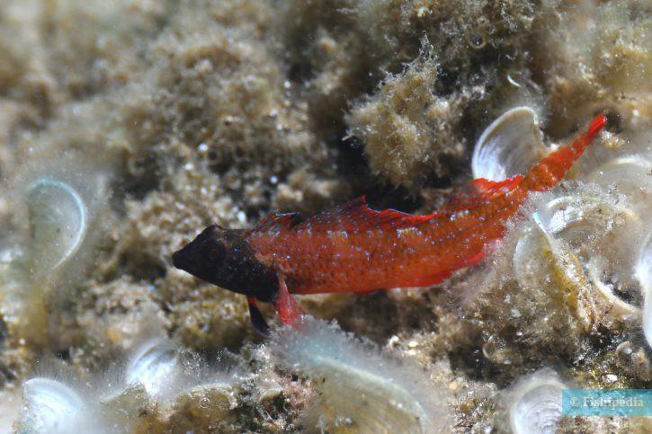 Tripterygion tripteronotum - triptérygion rouge