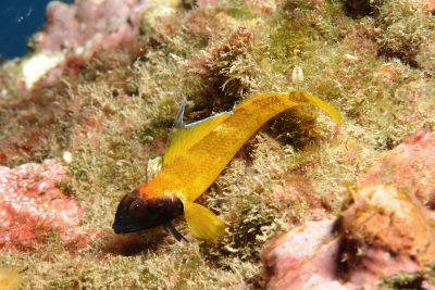 triptérygion jaune Tripterygiidae