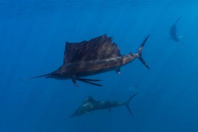 poisson voilier du Pacifique