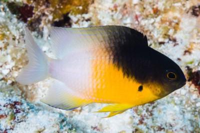 demoiselle bicolore
