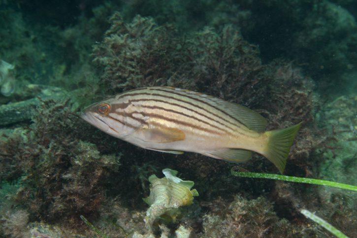 Epinephelus costae
